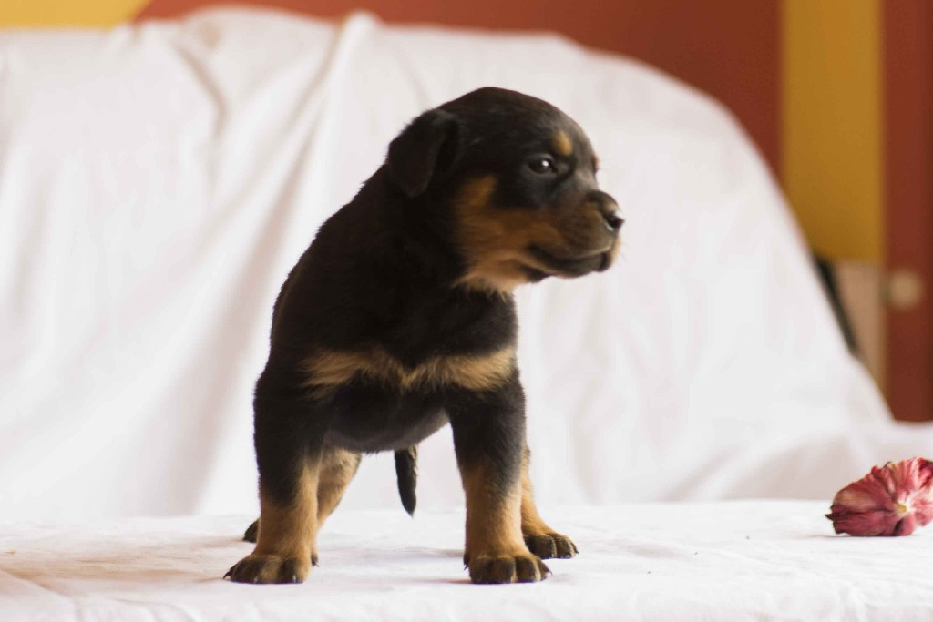 Rottweiler Puppy Midnight Fp Fere Perfectum Dog Kennel